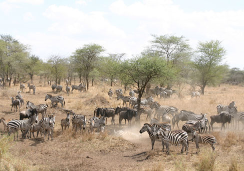 The Great Migration in the Serengeti