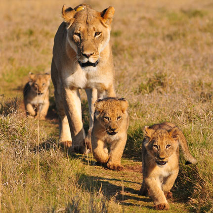 Lioness and cubs in the Masai Mara