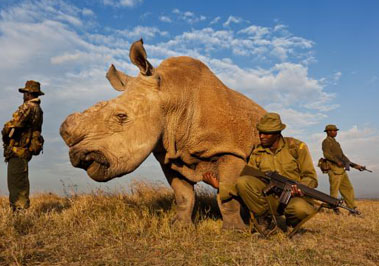 Sudan the Nothern White Rhino