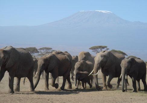 Amboseli elephant herds