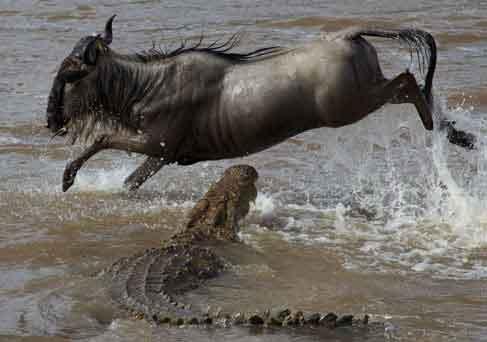 Crocodile attacks wildebeest crossing Mara River
