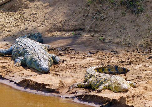Masai Mara crocodiles