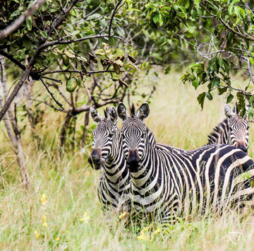 Zebras at Akagera National Park