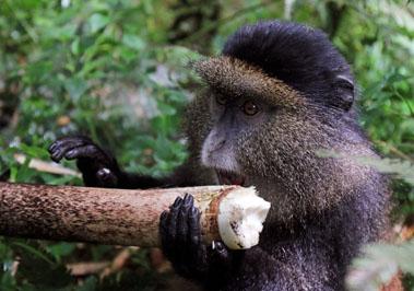 Golden monkey eating