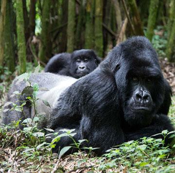 Rwanda silverback gorilla