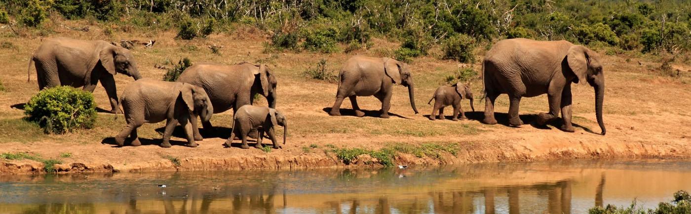 Amboseli elephant heard