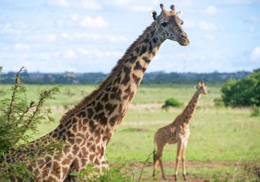 Giraffe - Nairobi National Park