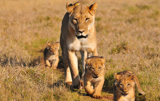 Lioness and her cubs in the Masai Mara