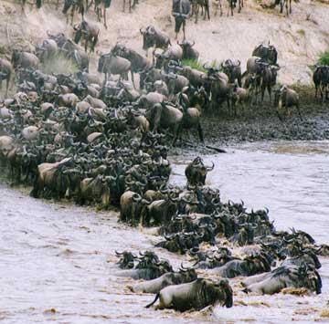 wildebeest-migration-masaimara
