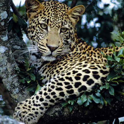 Leopard - Kenya Safari
