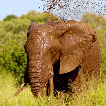 Tanzanian Elephant