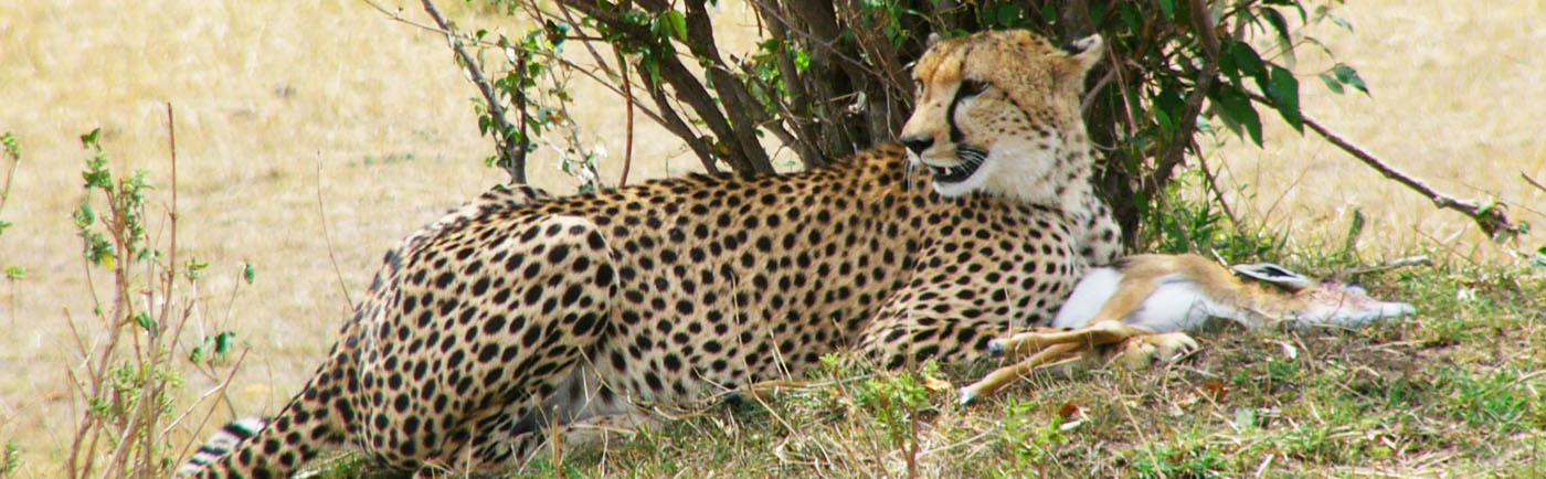 cheetah eting young antelope kill