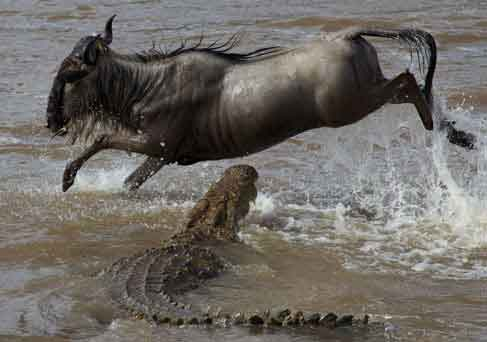 Crocodile attacks wildebeest crossing Mara River