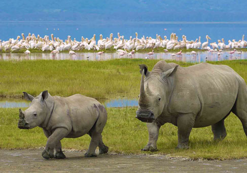 Ngorongoro rhinos