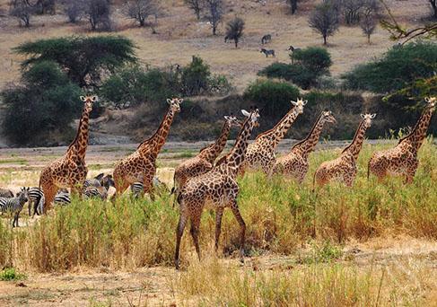 Tarangire giraffes