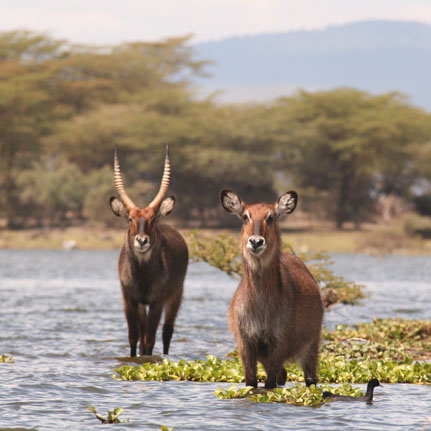 lake Naivasha waterbuck