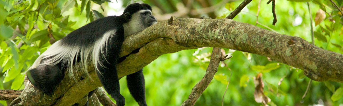 White colobus at Nyungwe National Park