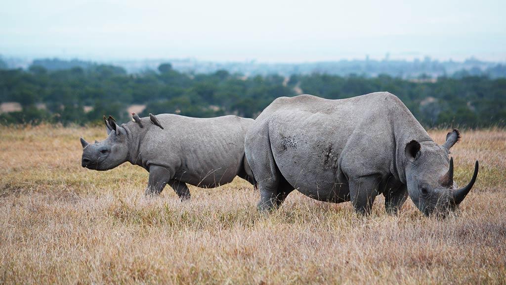 Kenya Rhinos