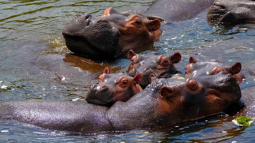 Murchison Falls Hippos