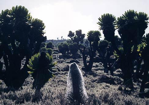 Mount Kenya Flora and Fauna